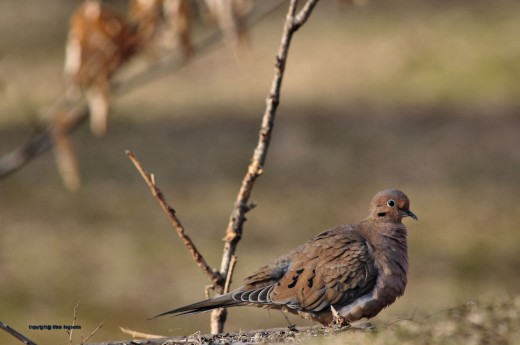 A mourning dove hunts for food on the ground.