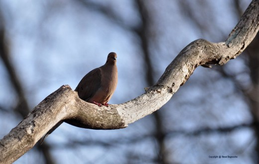Then rests on a dead limb of a nearby oak.