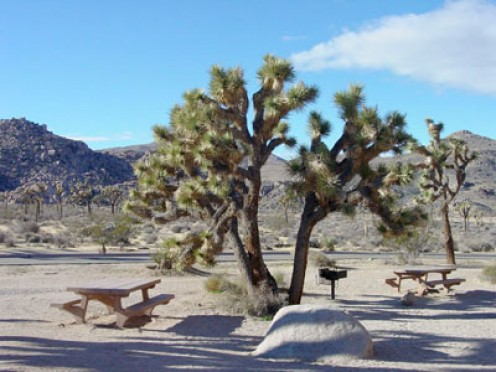 Joshua Trees (public domain)