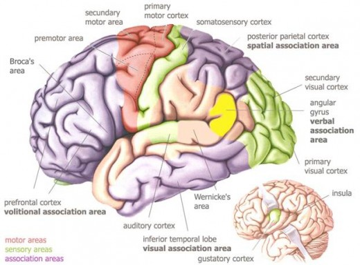 The auditory cortex is the part of the brain that processes sensory information in the form of sound. While the auditory cortex is not directly or completely responsible for the hearing, it is essential to processing and understanding sounds in music