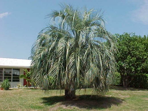 Pindo(Jelly) Palm (http://mgonline.com/)