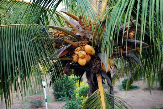 Coconut tree in front of Panthanivas