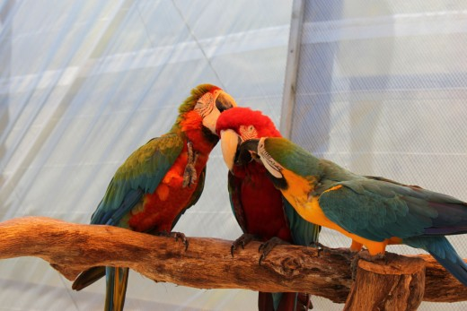 macaws grooming each other