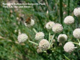 "A wild bee on a plant known as ""Ranger's Button"" in So. California."