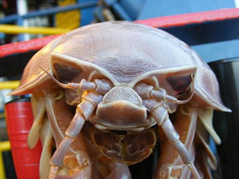 giant isopod pic