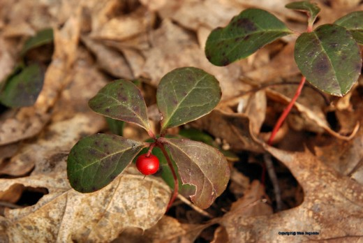 The red berry of a wintergreen stands out in the woods. The berry survived the winter.