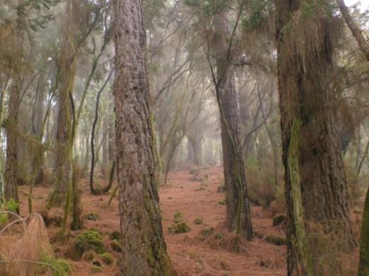 Cloud forest in Aguamansa