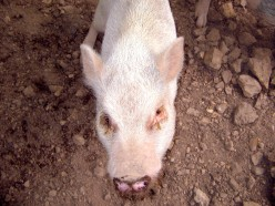 The Potbellied Pig: An Interesting Pet