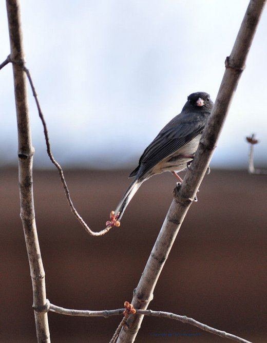 A darkeyed junco peers at me as I photographed it.