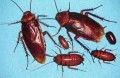 The Cockroach Factor