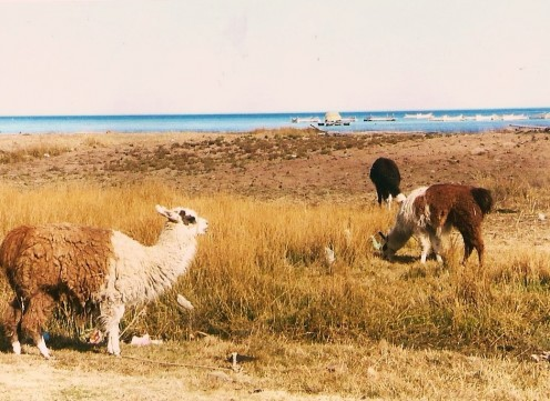 Lamas are used to carry supplies on Isla del Sol.