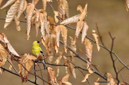 A yellow finch rests in a beech sapling still with leaves from last season.