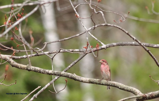 A male purple finch makes for an Easter weekend spring scene.