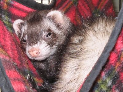 "A Ferret named ""Mo"""