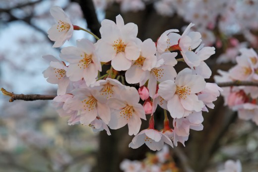 Cherry Blossom make impressive displays. Photograph courtesy of Kropsoq.