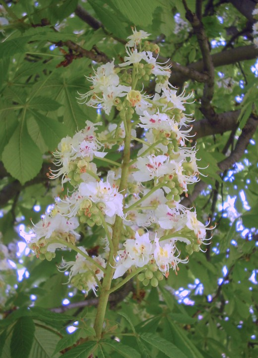 The flowers of the white horse chestnut make a stunning display. Photograph courtesy of Bogdan Giusca