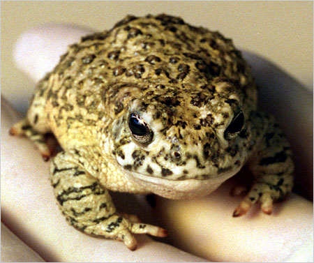 Close-up of the rare Arroyo Toad. Note humorous expression!