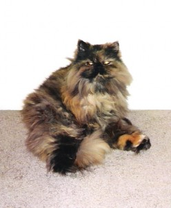 Persian cats: some behavior issues