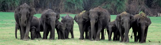 Elephant herd in Bandipur National Park, Karnataka