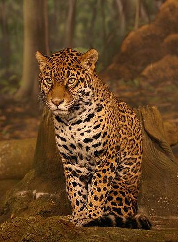 Jaguar - Onça pintada - Panthera onca