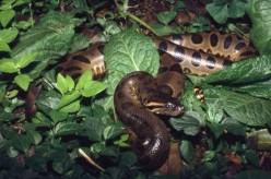 Green Anaconda - Sucuri-verde - Eunectes murinus