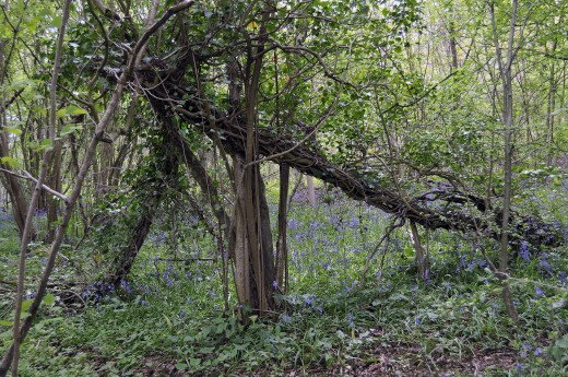 Stalbridge Bluebell Wood