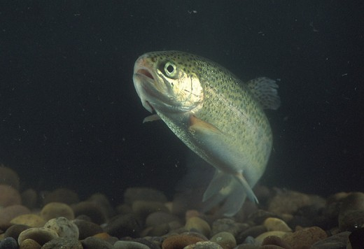 The rainbow trout is a colourful fish. Photograph courtesy of