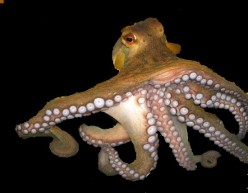 Similarities and Differences in Octopus vs Squid