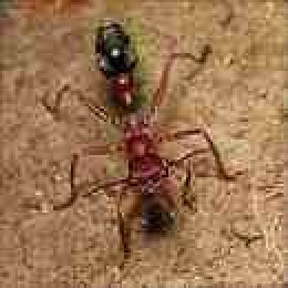 Bullet Ant...nasty chappie with the most painful sting of ALL insects.