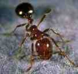 Fire Ant scourge of the picnic