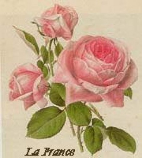 La France. Image from Ludwig's Roses page