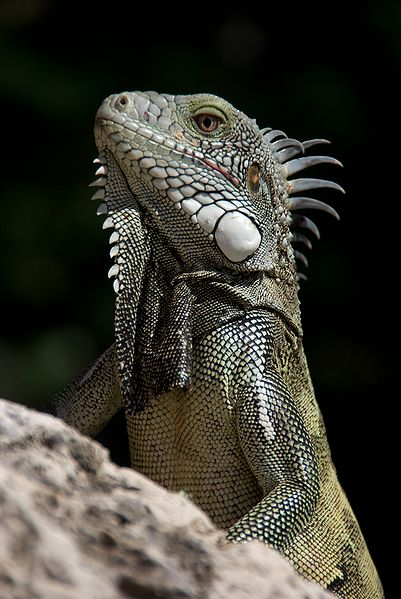 Iguana by Bas Leenders at http://flickr.com/photos/basl/