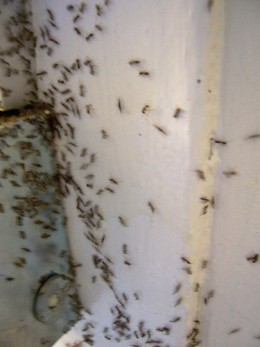 How to avoid and get rid of ants for Ants in my kitchen cabinets