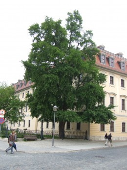 The Gingko tree which Goethe brought back to Weimar from his travels