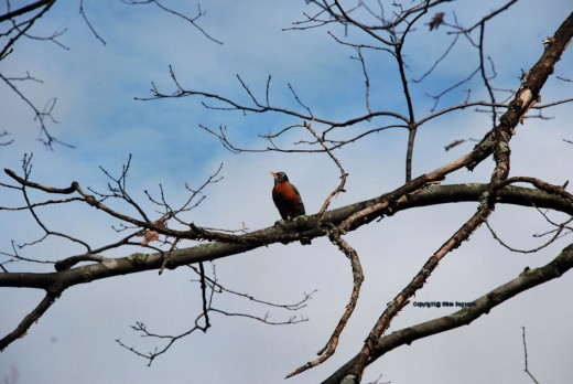 A robin's red breast contrasts with the white clouds in a blue sky following a morning rain.