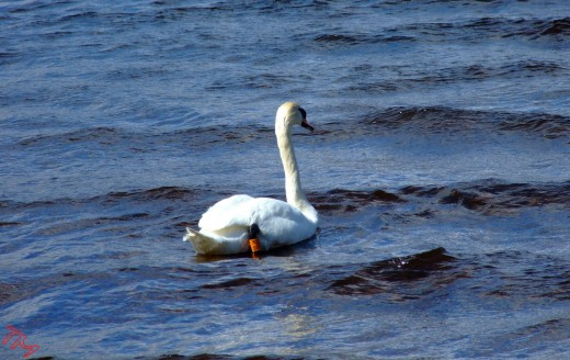 The Bonny Swan
