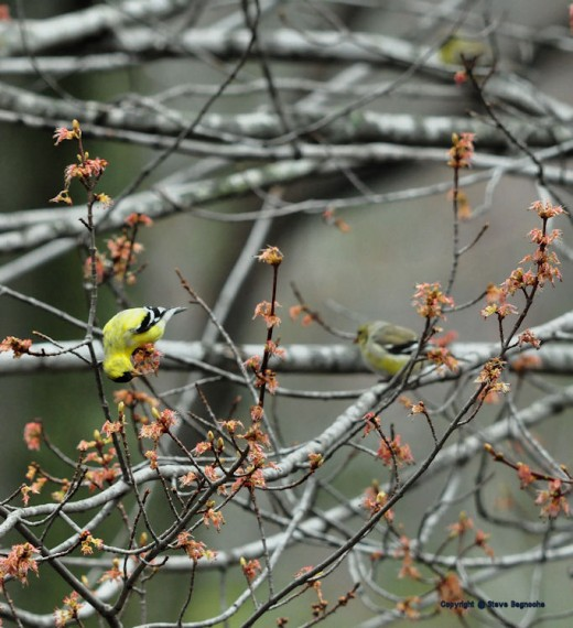A finch eats a maple catkin. Several could be seen pecking at the catkins this evening.