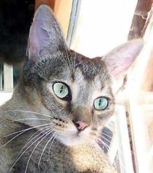Gorgeous features on a Chausie Cat