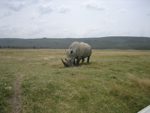 white rhino by jemartin flickr cc