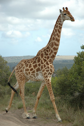 giraffe by cornstaruk flickr cc