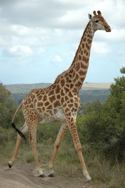 giraffe by cornstaruk flickr cc