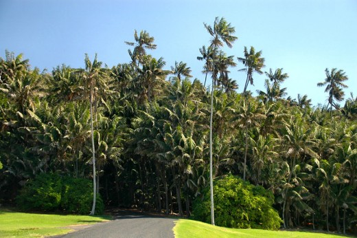 Kentia Palms