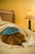 Dogs Can Get the Flu Too! Signs and Symptoms of Canine Influenza!