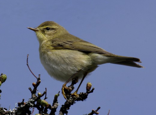 Willow warblers enhance the woodland. Photograph courtesy of Oskila.