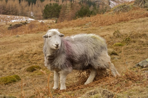 This beautiful photograph of a Herdwick Sheep was taken by Alexander Baxevanis.