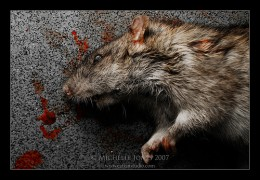 Dead rats if not disposed, could be a serious problem.