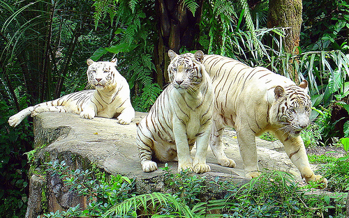 White Tigers, on brink of extinction!