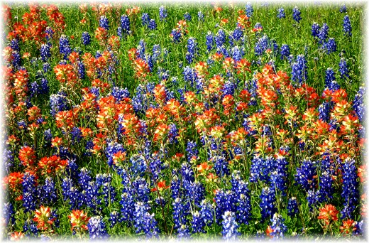 Bluebonnets and Indian Carpet in the field adjacent to Windy Winery