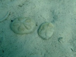 Sand dollars (dead) at Paradise Cove. There are SO many here!