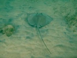 Another stingray at Fortuna